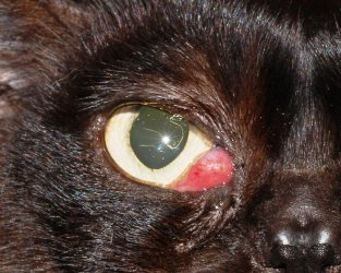 Cat eye infection