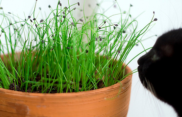 Herbal Treatments for Cats