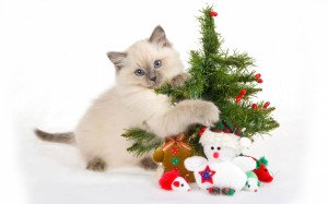 cat at christmas