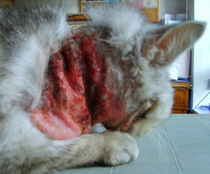 cat bleeding