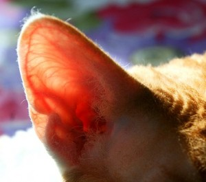 Hearing Abilities In Cats