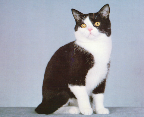 Black & White American Shorthair