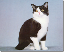 black and white american shorthair