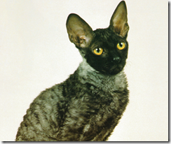 black smoked cornish rex