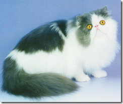 blue and white persian