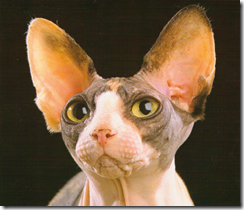 brown and white sphynx cat