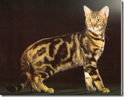 brown marbled bengal