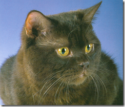 chocolate british shorthair