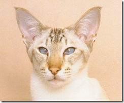seal tabby point siamese