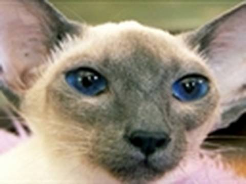 Varieties of Siamese cats